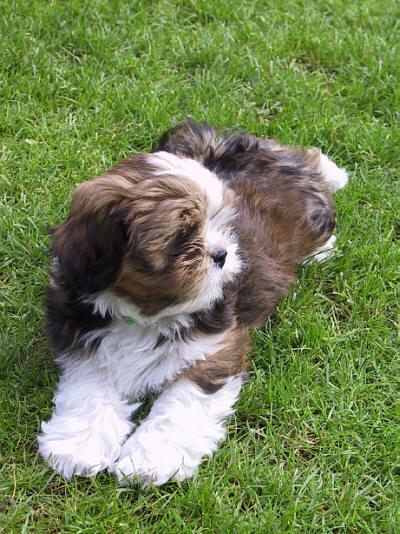 Lhasa Apso Mix Shih Tzu Puppies 37682 Loadtve