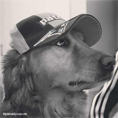golden retriever game ready for Patriots AFC Championship game #blackandwhitesunday