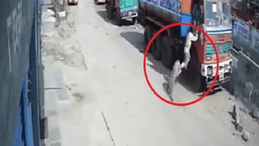 في الهند ... كلاب ضالة تبطل محاولة نمر إصطياد سائق شاحنة وإفتراسه