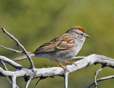 Photo of a Chipping Sparrow on a branch