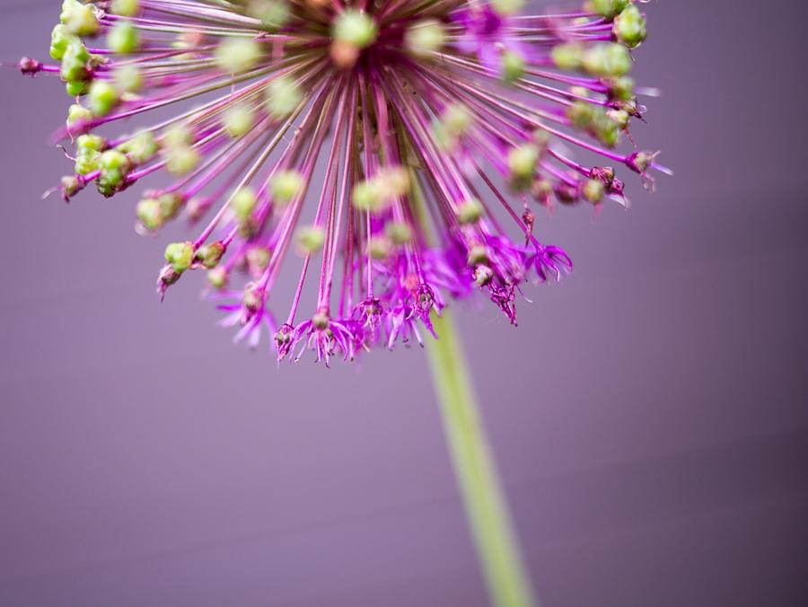 Blog + Fotografie by it's me   fim.works   Ein Garten im Norden   lila blühender Allium