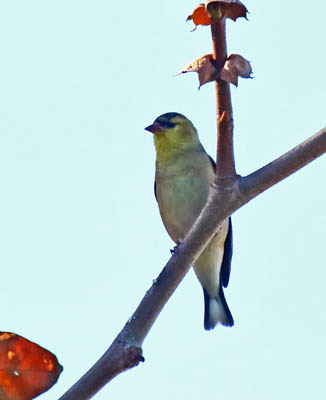 Photo of male American Goldfinch in non-breeding plumage on a branch