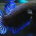 Mengenal seluk Beluk Ikan Cupang Adu Bagan