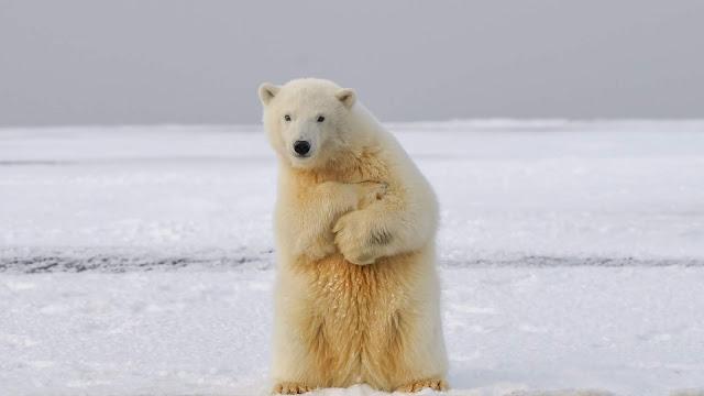 Papel de Parede Urso Polar no Gelo para PC, Celular e iPhone. Baixe Grátis Imagens para Papel de Parede Hd, 4k