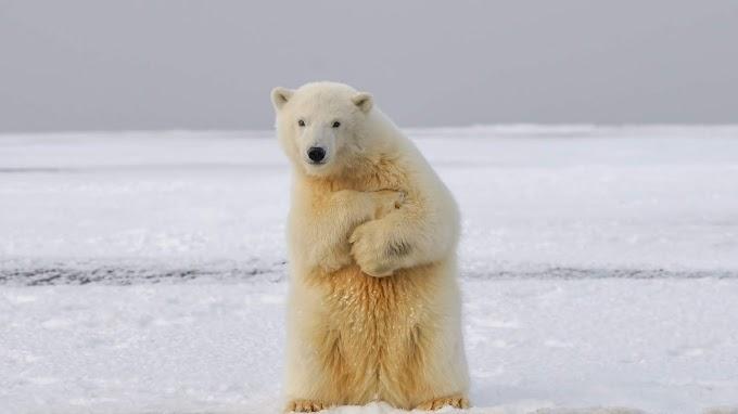 Papel de Parede Urso Polar no Gelo