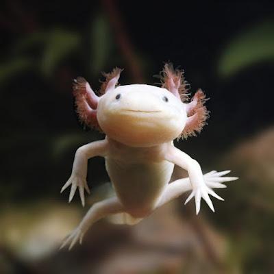 Axolotl Albino Biasa