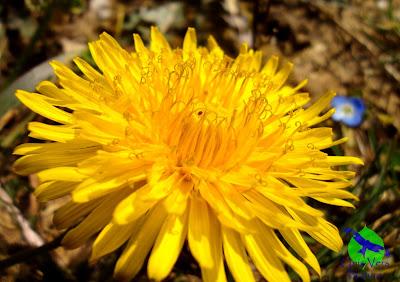 Cuisine pissenlit, identification, fleurs stage plantes sauvages Jura