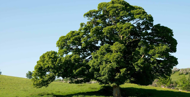 copac de stejar