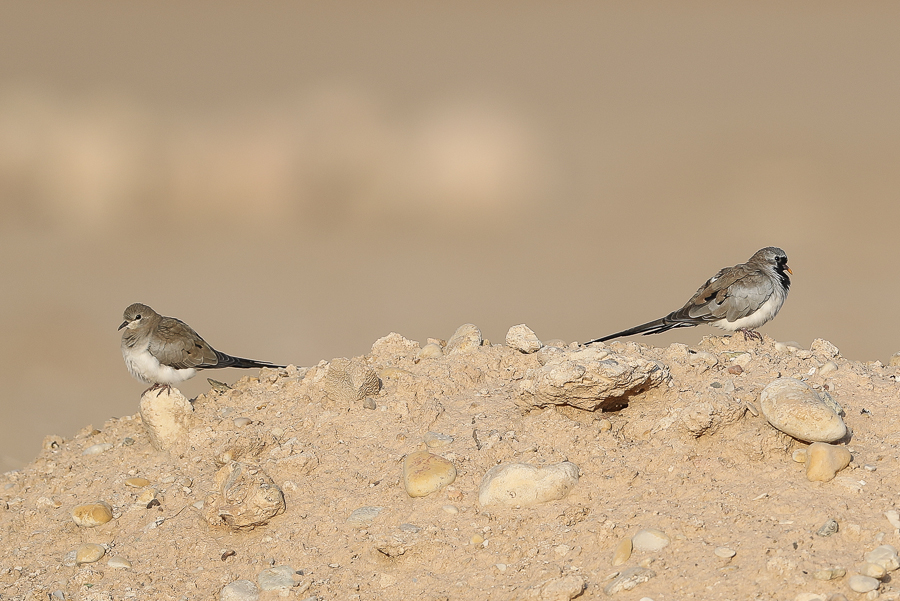 Namaqua Doves
