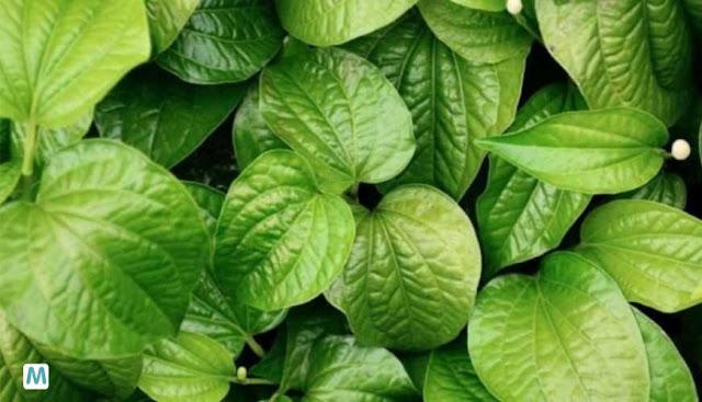 Cara Mengatasi Masalah Bau Badan Dengan Daun Sirih - Kandungan zat antioksidan yang tinggi pada daun sirih sangat ampuh dalam mengobati masalah kesehatan.     Daun sirih diyakini bisa menyembuhkan berbagai macam penyakit karena kandungan di dalamnya. Vitamin C, tiamin, niacin, riboflavin, dan karoten terdapat pada daun sirih.    Cara Mengatasi Masalah Bau Badan Dengan Daun Sirih   Daun sirih juga bisa jadi cara efektif menghilangkan bau badan dan keringat berlebih. Untuk menghilangkan bau badan menggunakan daun sirih, caranya adalah :  Siapkan beberapa lembar daun sirih. Rebus dengan 2 gelas air Kemudian campurkan air rebusan daun sirih tersebut pada ember yang berisi air. Gunakan air rebusan tersebut untuk mandi.   Lakukan hal tersebut secara rutin, maka bau badan  akan segera menghilang.
