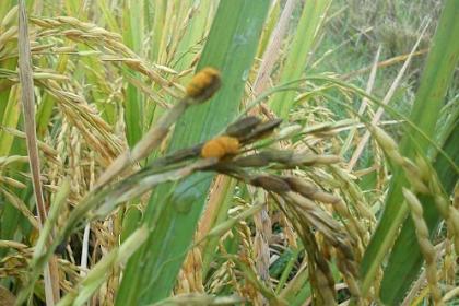 Jamur Ustilago, penyakit padi yang membawa berkah.