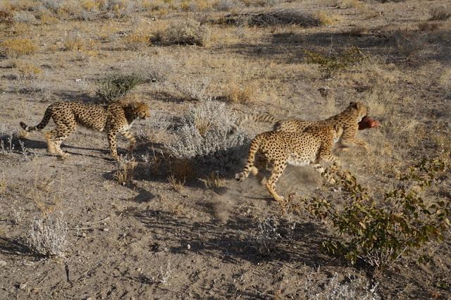 Safari para ver guepardos na Otjitotongwe Cheetah Farm
