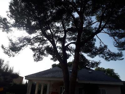 Aclarado de pino en monasterios - Ruepra jardinería