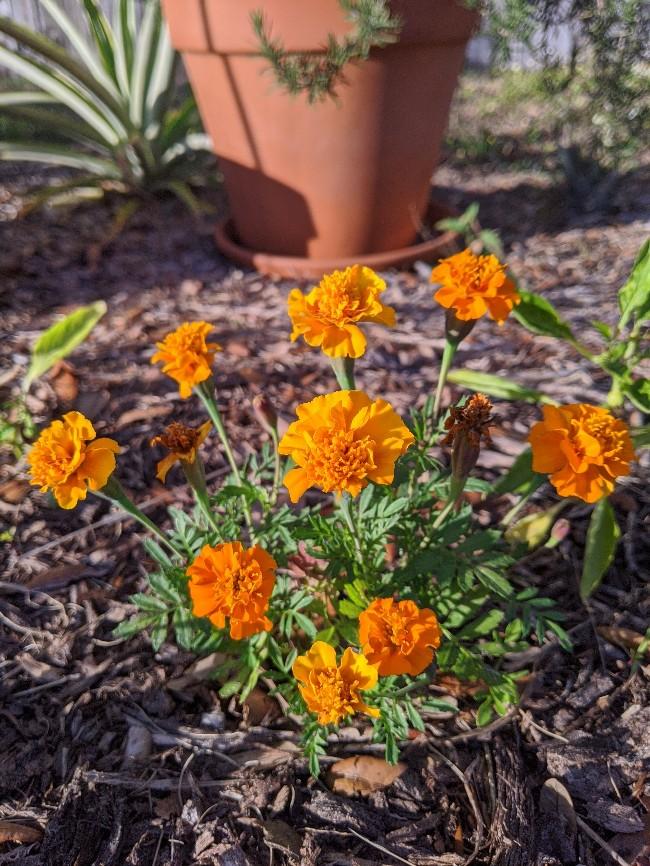Petite Marigolds