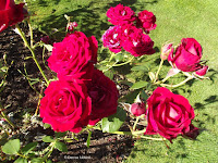 Roseworld hybrid tea rose  - Mona Vale Garden, Christchurch, New Zealand