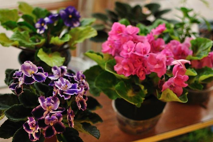 Violetas africanas