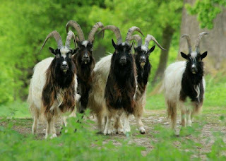Bagot Goat History, Milk, Weight, Size, Facts, Breed, Price