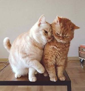 Cara Membuat Agar Kucing Tidak Berantem