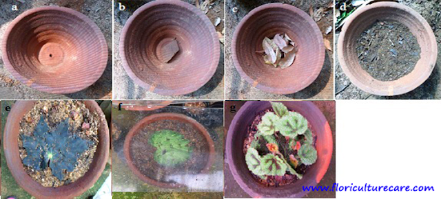 Preparation of tray pot for begonia propagation