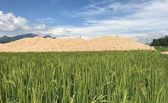 Quảng Ngãi Kiểm tra xử lý dự án lấp lúa làm khu dân cư