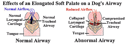 The elongated soft palate helps explain why beagles tend to snore.