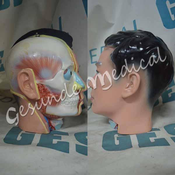 agen phantom anatomi organ tubuh pria