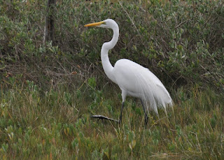 Great Egret walking