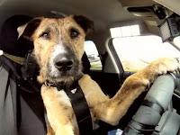 Собака водит автомобиль