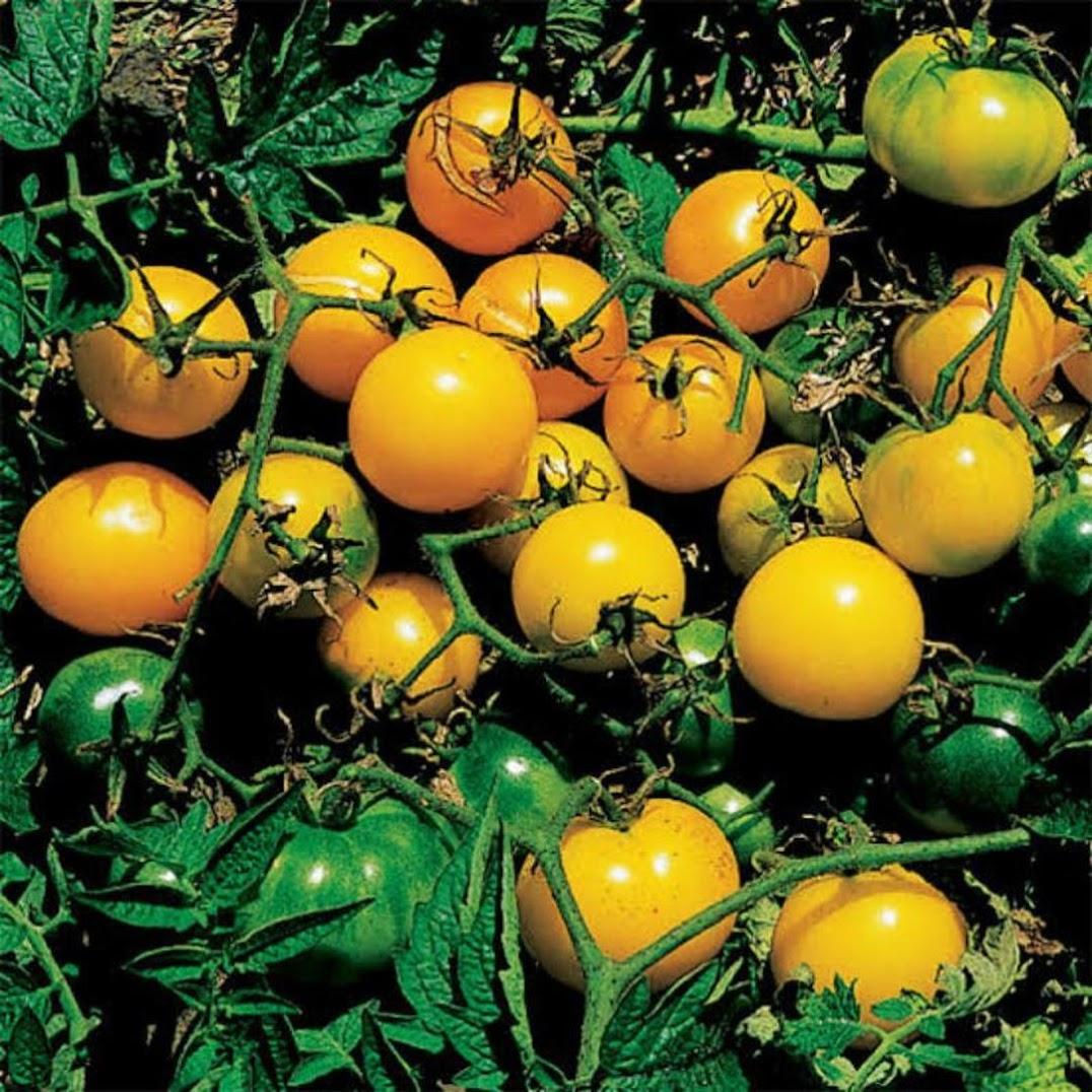 Amefurashi 50 Biji Benih Yellow Cherry Tomato Tomat Ceri Kuning Bangka Belitung