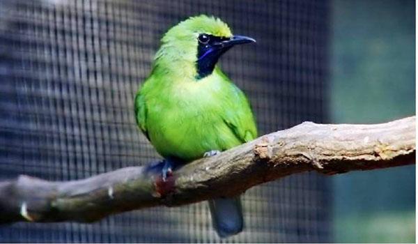 burung cucak ijo sumatra
