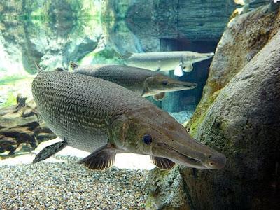 Gambar Ikan Alligator