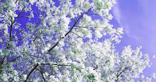 white-poplar-tree