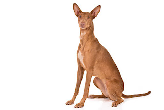 Anjing Ras Pharaoh Hound