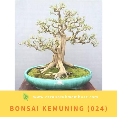 Bonsai Kemuning (024)