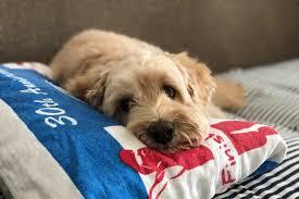 ansiedade da separação em cães