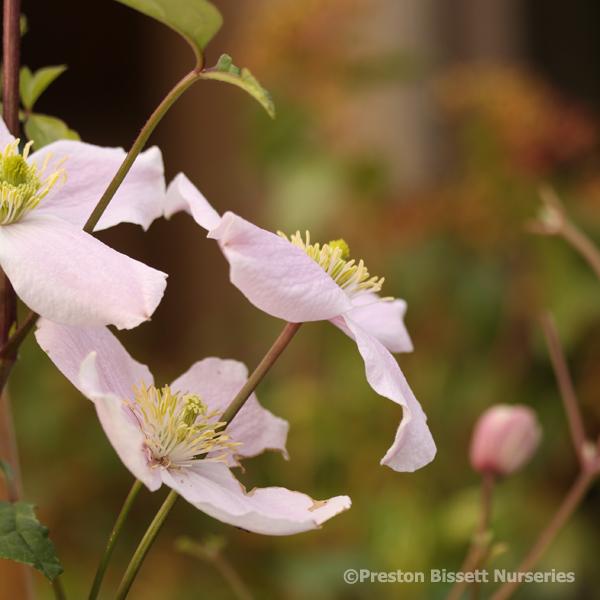 Preston bissett nurseries and country shop spring flowering clematis spring flowering clematis mightylinksfo