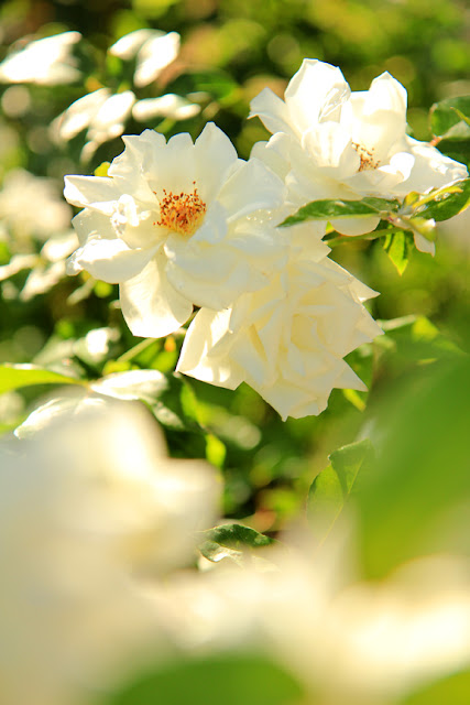 White Roses - Flower Photography by Mademoiselle Mermaid.
