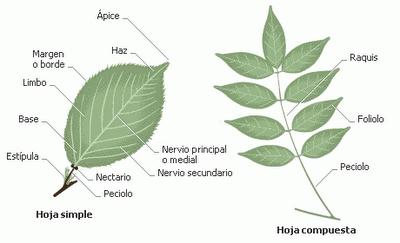 Partes de la planta for Cuales son las partes de un arbol