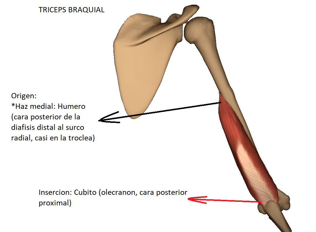 Anatomy full : MUSCULO TRICEPS BRAQUIAL