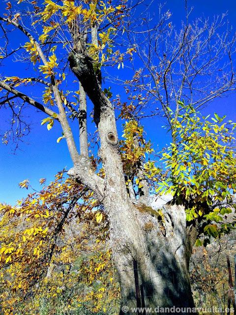 Viejo castaño, en la ruta de senderismo de los castaños Parauta