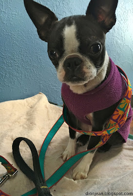 Sinead the Boston terrier poses with her leash