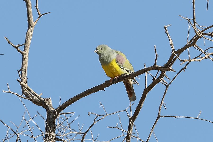 Bruce Green Pigeon