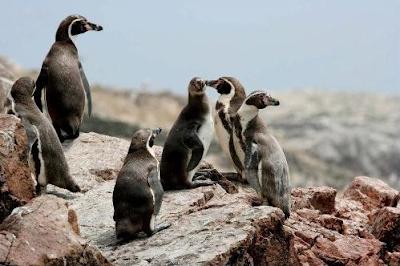 Pingüinos de Humbolt, Tour Islas Ballestas, Conocer las Islas Ballestas, Tours en Paracas