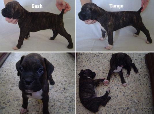 Cachorros Boxer de Venta en Santo Domingo