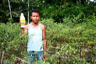 Eri petani Dharmasraya, menggunakan Herbafarm untuk mengurai karang tanah pada areal pertanaman cabe