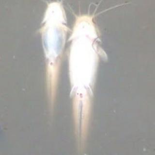 macam macam penyakit ikan lele
