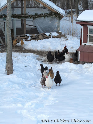 When temperatures are extreme and/or are accompanied by precipitation and/or wind, chickens would be well served by being contained to a covered run. Extreme cold in addition to wind/snow/rain puts chickens, even cold-hardy breeds, at risk for frostbitten feet, combs and wattles.