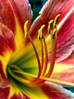 Hemerocallis fulva, tawny daylily, macro