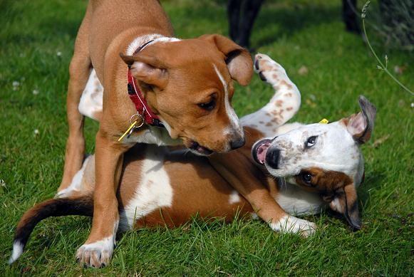 Oxiconsejos para detener una pelea de perros