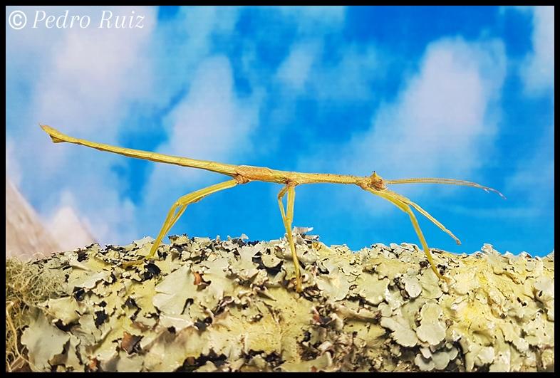 Ninfa macho L5 de Haplopus micropterus, 8 cm de longitud